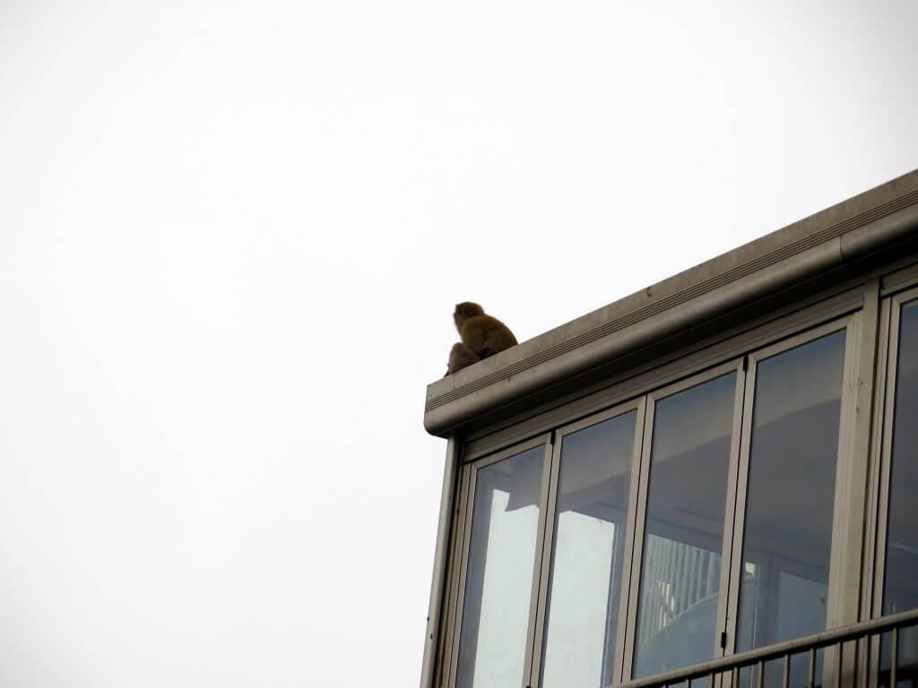 Opica na streche pozerá do diaľky - Výhľad zo Skaly - čo vidieť na Gibraltári