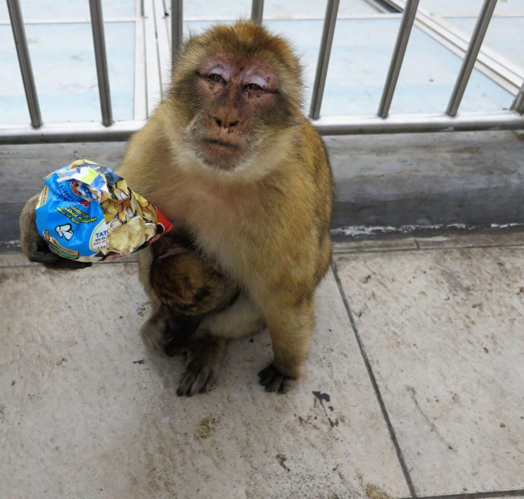Opica s balíčkom chipsov na Skale, Gibraltár