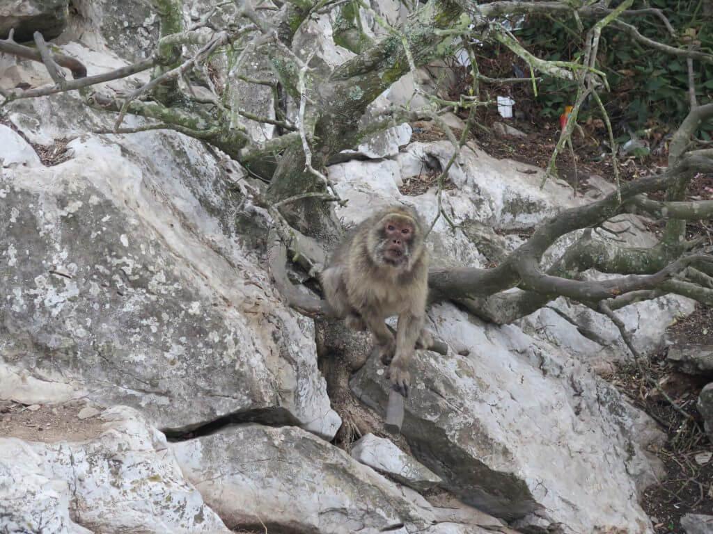 Opica na Skale, Gibraltár